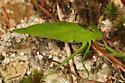 roundheaded katydid - Amblycorypha oblongifolia - male