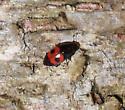 unid. beetle - Glischrochilus sanguinolentus