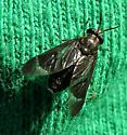 Deerfly - Chrysops obsoletus - female