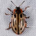 colorful small beetle - Chrysomela scripta