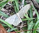 Moth - Scopula