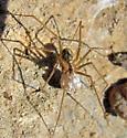 Psilochorus female - Psilochorus californiae - female