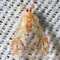 Planthopper - Anotia kirkaldyi