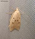 Moth - Machimia tentoriferella