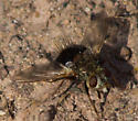 Gray-headed fly - Epalpus signifer