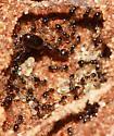 Ants - Monomorium minimum