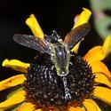 Bee Fly - Lepidophora