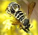 Anthidiini bee pair  - Dianthidium - male - female