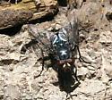 Fly ID Request - Cynomya cadaverina