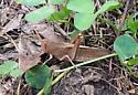 light brown grasshopper - Schistocerca damnifica