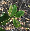 leaf miner on American Holly