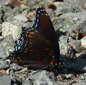 Some kind of swallowtail - Limenitis arthemis