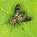 Condylostylus patibulatus ? - Condylostylus patibulatus - female