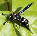 Bee Fly? - Euodynerus megaera