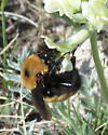 is this a Nevada Bumble Bee please? - Bombus nevadensis