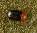 Madera chrysomelid b - Diachus