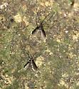 Nemopalpus nearcticus
