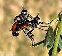 Mating Cylindromyia - Cylindromyia - male - female