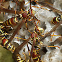 Brown paper wasps - Polistes exclamans