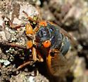 Early emergence of periodic cicada in Maryland? - Magicicada