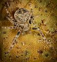 Araneus montereyensis? - Araneus - male