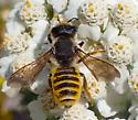 Yellow-striped bee - Megachile fidelis