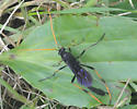Ichneuman Wasp - Therion morio - female