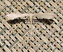 Hellinsia homodactylus