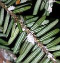 Adelges tsugae