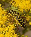 yellow stripped beetle? - Megacyllene robiniae
