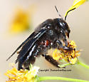 Bee - Xylocopa californica - female