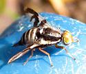 Rhubarb Fly  - Rhagoletis pomonella - female