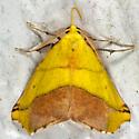 Sharp-lined Yellow Moth - Sicya macularia - male