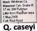 Quedius caseyi divergens (Casey) - Quedius caseyi