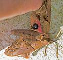 MothBlindedSphinx_Paonias_excaecata07162019_GH - Paonias excaecata