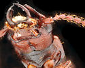 Siagonium punctatum male,  ventral head perspective - Siagonium punctatum - male