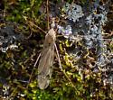 Tipula female - Tipula - female