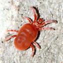 Velvet Mite - Allothrombium