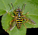 Dancing Syrphid Fly - Spilomyia longicornis - male