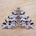 Owen's Larch Granite (Macaria oweni)  - Macaria oweni - female