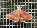 Moth - Pyrausta rubricalis