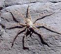 Sabino Canyon Fishing Spider - Trechalea gertschi