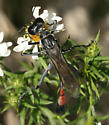 Wasp - Ammophila procera - female