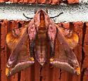 Pink Sphinx - Paonias astylus