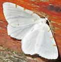 Lesser Maple Spanworm - Macaria pustularia - male