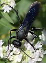 great black wasp? - Sphex pensylvanicus