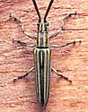 Long-horned - Hippopsis lemniscata