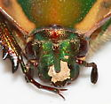 Green June Beetle - Cotinis nitida
