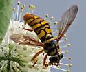 Yellow Jacket Flower Fly: Milesia virginiensis - Milesia virginiensis