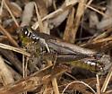 Grasshopper IMG_5858 - Melanoplus femurrubrum - female